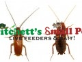 Red Runner or Turkistan Cockroach (Blatta lateralis)