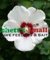 Single White with Red Center Rose of Sharon