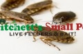 Lobster Cockroach (Naupheta cinerea)