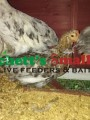 55 Flowery Hen Gold (Greenfire Farms Line)