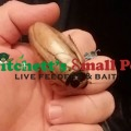 Ivory Head Roach