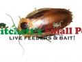 Discoid Roach (Blaberus discoidalis)
