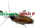 Pallid Roach (Phoetalia pallida)