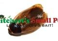 Surinam Roach (Pycnoscelus surinamensis)