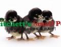 Bargain Chicks (Pet Quality)