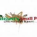 Crickets (Acheta domestica)