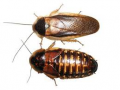 Dubia Cockroach (Blaptica dubia)