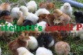 50 Hatchery Surplus Chicks
