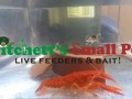 Tangerine Orange Crayfish