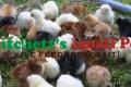 100 Hatchery Surplus Chicks